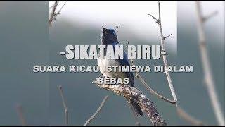 Kicau Burung Sikatan Biru Di Hutan Yang Aduhai Merdunya