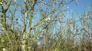 Arrival of the damson blossom, March 2012