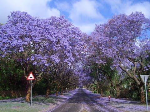 شجرة الجاكرندا Hqdefault