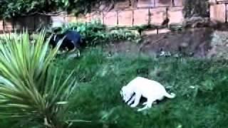 Dalmatian X Dachshund 2