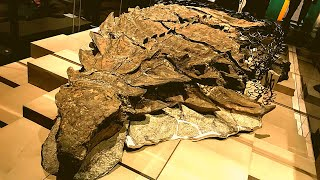 Canadian museum unveils perfectly preserved 2,500lb dinosaur mummy of ancient 18 foot long Nodosaur