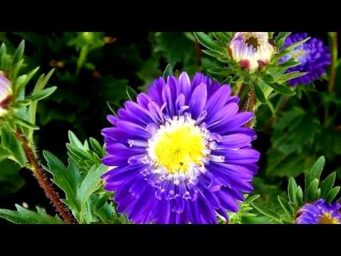 Астры фото видео  Красивые цветы Asters photo video Beautiful flowers
