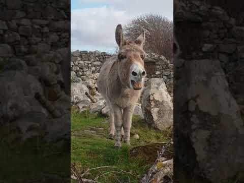 Please listen to this donkey belt out like like an opera singer
