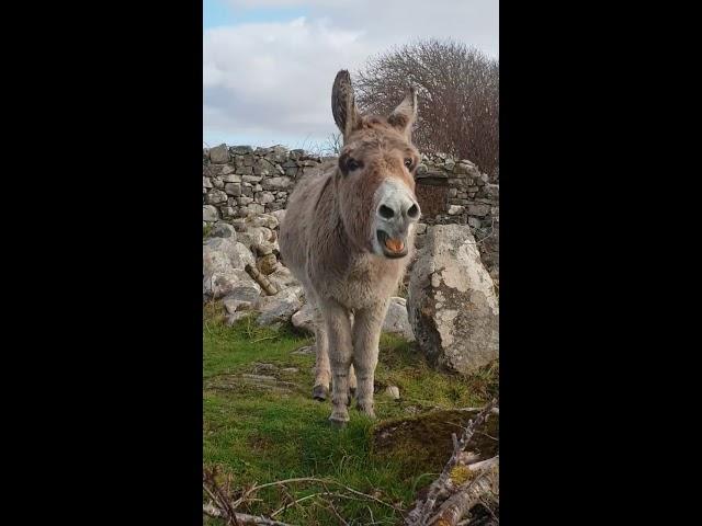 Harriet the Singing Donkey 'Serenades' Passerby