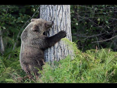 Grizzlies Cooper Landing 2014, Russian River, Alaska