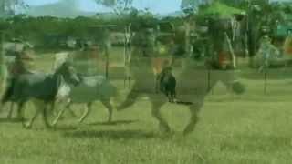 Miniature Horse Races