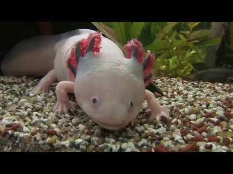 Axolotl ein wundersames Tier.