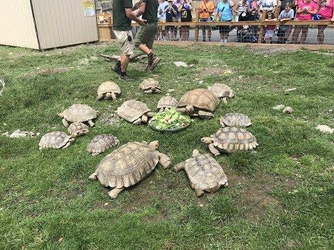 Animal Adventures with Jordan: African Spur Thigh Tortoise