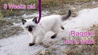 Ragdoll Kitten (6 weeks old)  Walks on a Leash (Training my cute white cat)