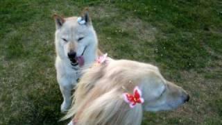 かいさん(北海道犬) 青いおリボンを付けてもらいました。短いコートに...