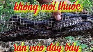 bay ran hổ hành tập 42.Không mồi thuốc bẫy rắn,  rắn dẫn vào đầy bẫy. Snake trap