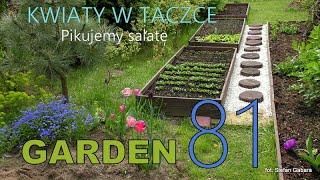 GARDEN (81) - Flowers in a wheelbarrow - Lettuce in the garden. Pikowanie sałaty.