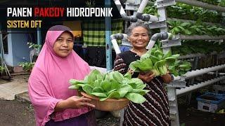 Sayuran Hidroponik Sederhana : Panen Pakcoy bersama Tetangga
