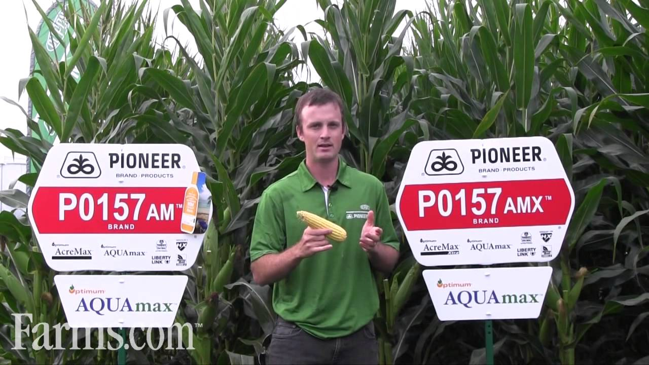 Pioneer Corn Hybrids P0157AM P0157AMX - YouTube