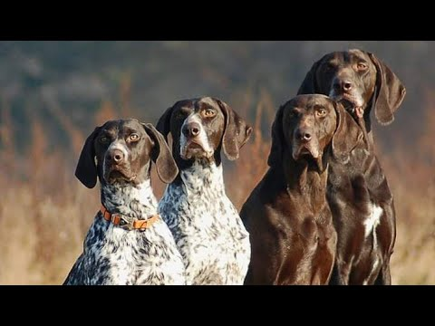 English Pointer hunter dogs cunfam shekari For Sale