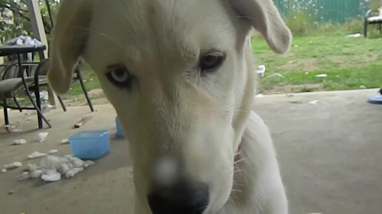 Super Labrador Husky - YouTube VX82