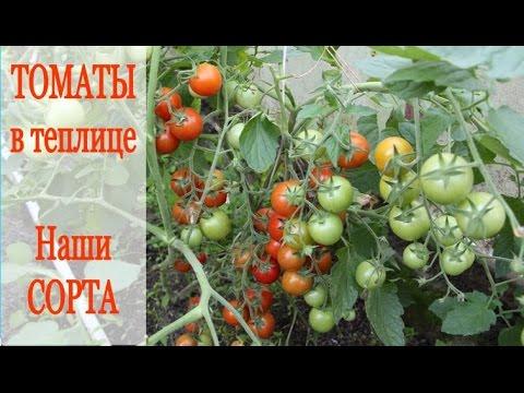 Посоветуйте урожайные сорта томата для Сибири