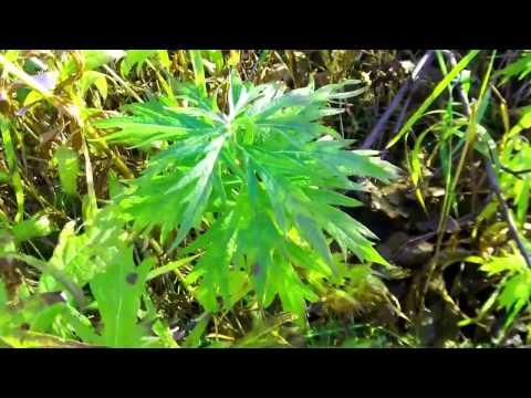 Native Plants of Bristol Bay, Alaska - Wormwood, Labrador Tea and more