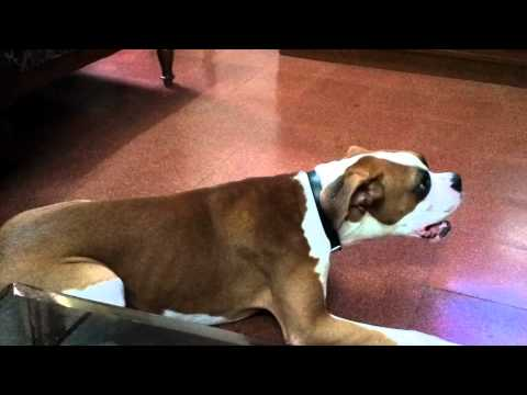 Barking Boxer Dog