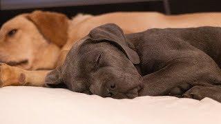 Cane Corso Puppies Autopsy Report