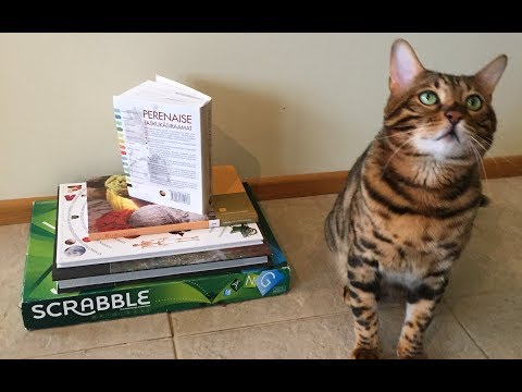 Bengal cat trick - jumping on books