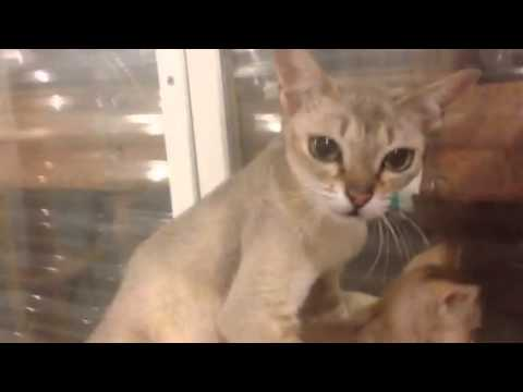 Deciding which Singapura Kitten to Get Pt. 3 (Under 1 lb) - (Smallest Cat Breed!)
