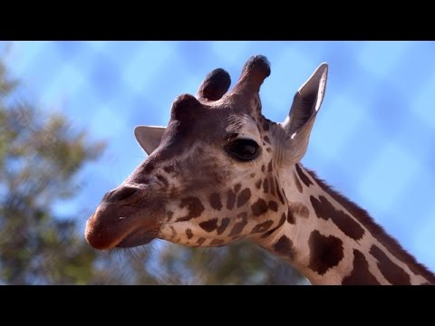 Thumbnail: Katie the Giraffe's Story | Giraffe Birth Live