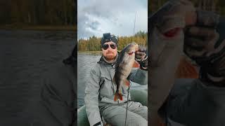 Трофейный окунь на джиг Рыбалка на озере Jig trophy perch Fishing on the lake shorts