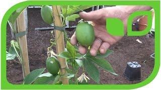 Eia Popeia as a potplant