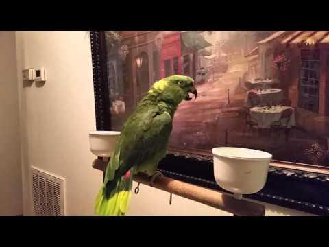 Yellow Nape Amazon singing
