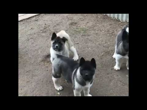 American Akita,  puppies
