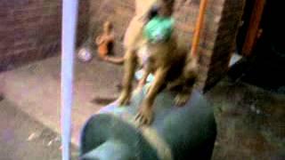 Pitbull/rottweiler Mixed Breed Playing Ball