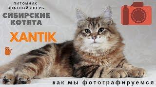 😍❤ Могу сидеть, могу не сидеть 🌟  Котенок Ксантик на съемках.😻  Siberian kitten
