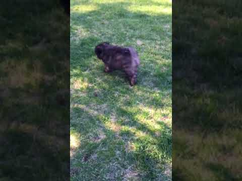 Male Keeshond Puppy