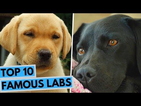 TOP 10 Famous Labrador Retrievers