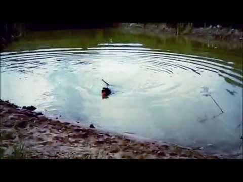 ЗНАКОМЬТЕСЬ; АВСТРАЛИЙСКИЙ ЛАБРАДУДЕЛЬ.SUPER-DOG: AUSTRALIAN LABRADOODL