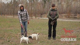 Охотничьи собаки. 20 серия. Джек-рассел-терьер