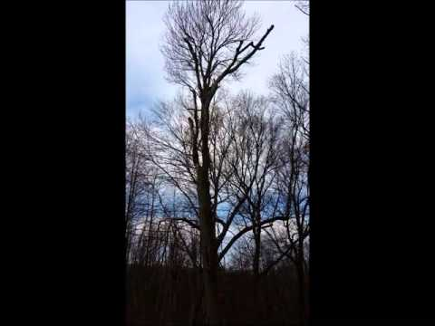 Trout Brook Landscaping of West Hartford, CT Tree Service climbing video 12 11 15