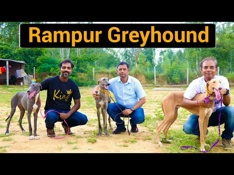 Rampur Greyhound | The Royal Indian Dog | Most Amazing fastest running dog in India