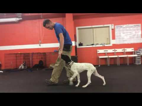 Training | Commands run though | | Solid K9 Training Dog Training