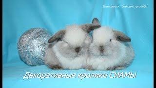 Где купить декоративного кролика?  - Крольчата СИАМЫ в питомнике Зайкина усадьба для вас