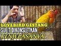 Lovebird Gestang Banyak Misteri Ini Pejelasanya  Mp3 - Mp4 Download
