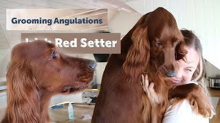 Grooming Part 4  Irish Red Setter  Angulations & Touch Up