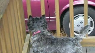 Chrissie Cairn Terrier Camera Test
