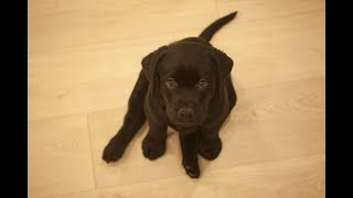 Ylvis. Funny Labradors COMPILATION [Funny Pets]
