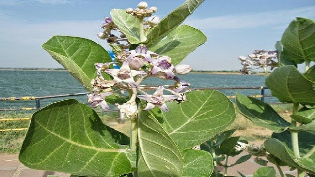Image result for इस पौधे का हर अंग दवा है ये बाहर निकले पेट को कम तो गठिया 21 दिन में समाप्त कर सकता है इसका दूध उड़े हुए बालों को उगा देता है