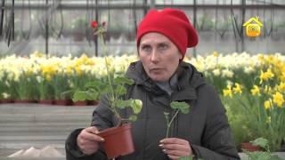 Смотреть видео чтобы розы на кусту пахли что нужно делать