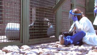 Chimp Haven to the Rescue - The Journey of Five Chimpanzees
