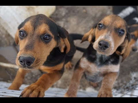 3 month BEAGLE X COONHOUND FEMALES