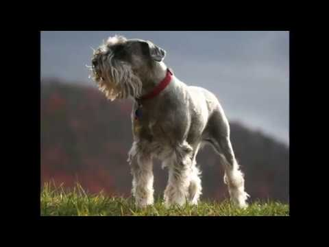 Miniature Schnauzer Dog Breeds Information, Origin, History, Appearance, Temperament, Health